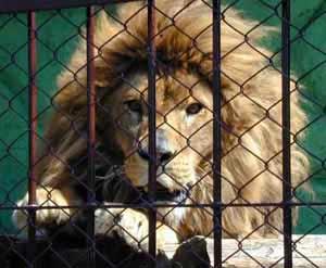 huele a leon